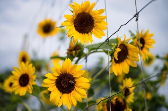 sunflowers - thrive